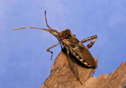 western conifer-seed bug