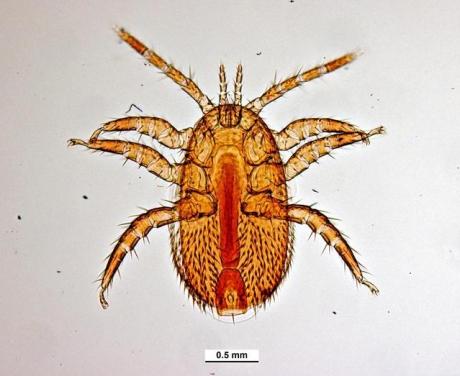 Tropilaelaps clareae