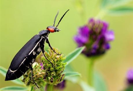 Epicauta chinensis blister beetle