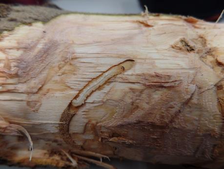EAB larvae in olive stem