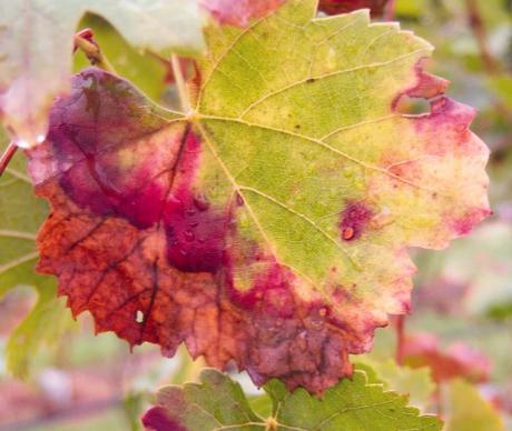 pierces disease foliar symptoms