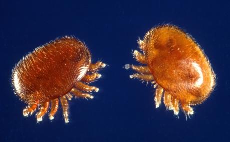 varroa destructor mites