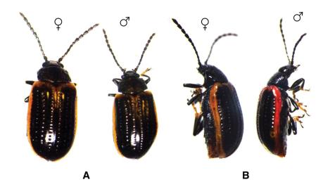 yellowmargined leaf beetle