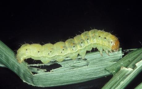 corn earworm larvae