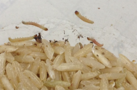 infested rice