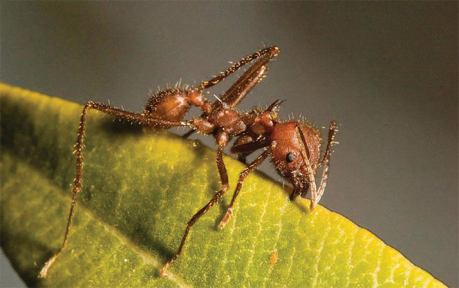 texas leafcutting ant