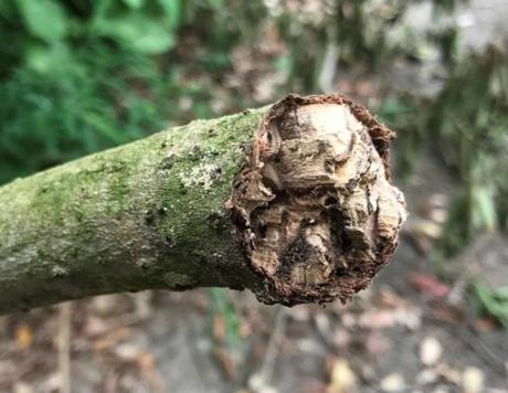 Litsea monopetala branch damaged by polyphagous shot hole borer