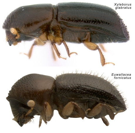 Xyleborus glabratus and Euwallacea fornicatus