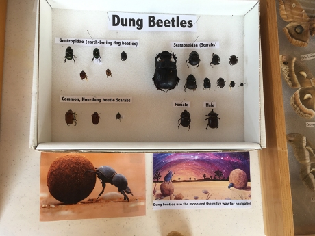 dung beetles display