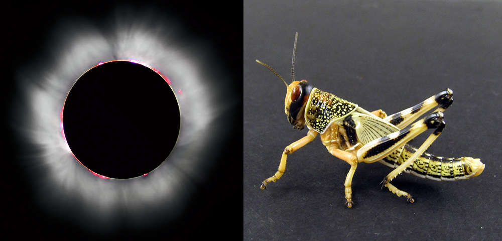 Can a Swarm of Locusts Really Block Out the Sun?