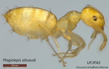 little yellow ant