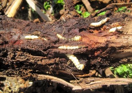 grape root borer larvae on root
